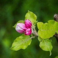 IMG_2204 цветы яблони :: Олег Петрушин