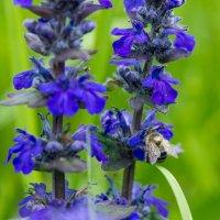 IMG_2257 пчела :: Олег Петрушин