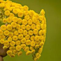 цветок пижмы :: Дмитрий Потапкин