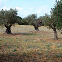 масличные деревья :: evgeni vaizer