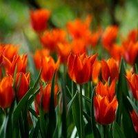 Пламя тюльпанов :: Наталья Лакомова