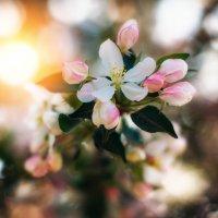 Лучше нету того цвету,когда яблоня цветёт... :: Лилия .