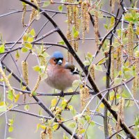 Весна и зяблик. :: Hаталья Беклова