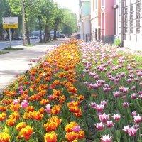 Тюльпаны... :: Владимир Павлов