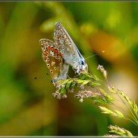 голубянки, самка и самец :: linnud