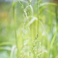 Травы :: Виктория Велес