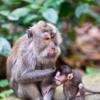 задумчивая обезьяна :: Юлия Ходаковская