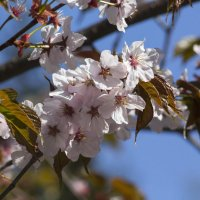 Цветущие ветви :: Aнна Зарубина