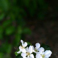 Яблоня в цвету :: Оксана Романова