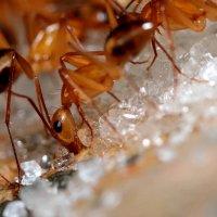 Египетский муравей :: Анна Исенева