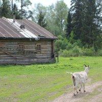 Идет коза рогатая... :: ВИКТОРИЯ Т