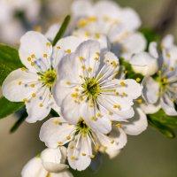 Цвет вишни :: Дмитрий Носов