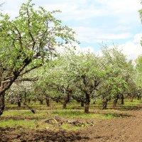 Цветущий яблоневый сад. :: Борис Митрохин