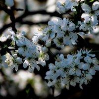 цветёт вишня :: Юрий
