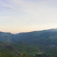 Холмы, которые стали чайными... :: Светлана Фомина