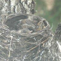 Печалятся после вылета трёх птенцов :: Domna Kuznechic