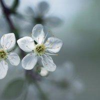 Утро в вишневом саду :: Ольга Фролова