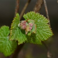 Будущий виноград :: Наталья