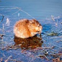 Ондатра (водяная крыса) на кормежке. :: Сергей Щелкунов