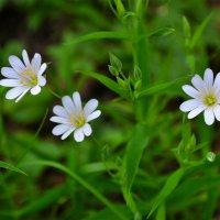 Полевые цветы мая :: Милешкин Владимир Алексеевич