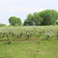 Молодой яблоневый сад. :: Борис Митрохин