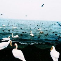 Swans :: Dar Milekin