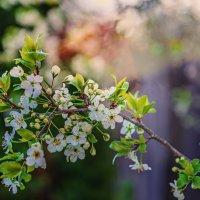 цветы вишни ... :: Татьяна Полянская