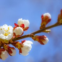 Начало цветения :: Sergei Mazaev