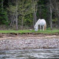 Белогривый красавец на берегу р.Зилим :: Наталья Лютик