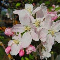 Душистые бело-розовые цветы яблони. :: Людмила Ларина