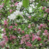 Белые и розовые :: Дмитрий Никитин