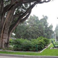 Древние секвои в императорском парке, им более 300 лет :: Сергей Смоляр