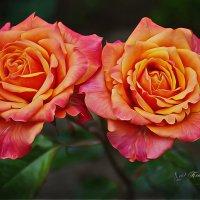 великолепные розы! :: Ксения