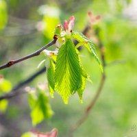 Молодые листья липы :: Виталий