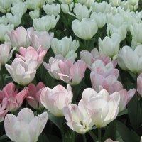 Фестиваль тюльпанов :: Маера Урусова