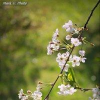 Майское цветение. 2016. :: Марк Васильев
