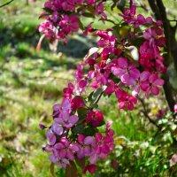 Цветы японской яблоньки :: Милешкин Владимир Алексеевич