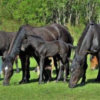Щиплют кони травку луговую :: Сергей Чиняев