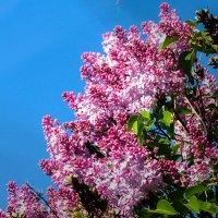Сирень цветёт :: Юрий