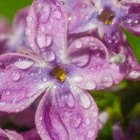 сирень после дождя :: Дина Горбачева