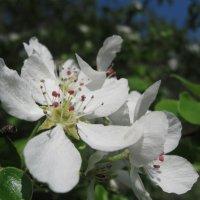 Яблоня цветёт. :: Лена Минакова