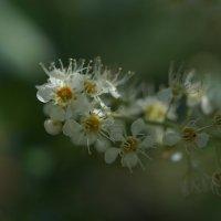 Последние цветы черёмухи :: Balakhnina Irina
