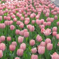 Фестиваль тюльпанов. Май 2016. :: Маера Урусова