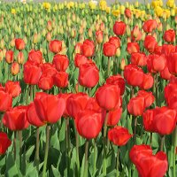 море тюльпанов :: Татьяна Нижаде