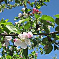 а так цветет у нас яблонька :: Надежда