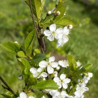 Вишня цветет :: Sergey Lebedev