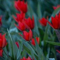 брызги тюльпанов :: gribushko грибушко Николай
