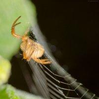 Рыженький паучок на паутинке :: Сергей Казаченко