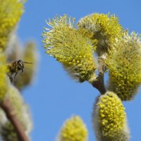 Здравствуй, милая пчела! :: Татьяна Смоляниченко