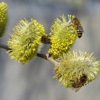 Пчёлок мерное жужжанье :: Татьяна Смоляниченко